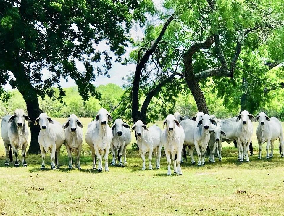 Smart Brahman Cattle
